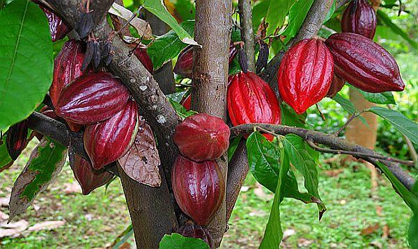 Resultado de imagen para cacao frutos