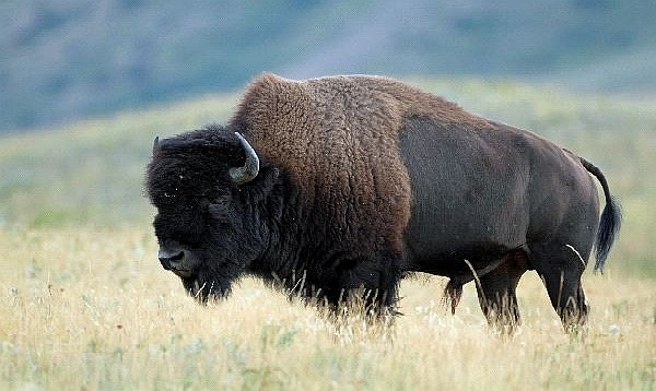 conservation push brings mighty bison back to mexico u2019s