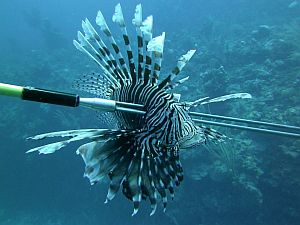 Lionfish assault worst environmental disaster ever in the for How much is a saltwater fishing license in florida