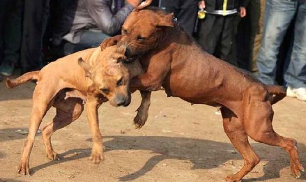 When Was Dog Fighting Banned In The Uk